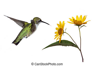 hummingbird and a sunflower - hummingbird hovers near a ...