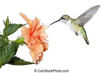 Hummingbird and Hibiscus - With its wings stopped and frozen...