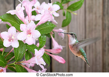 Ruby-throated hummingbird, Archilochus colubris, feeding on honeysuckle flowers