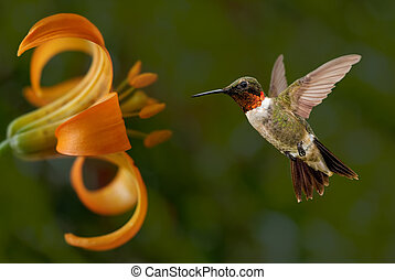 Hummingbird (archilochus colubris) in flight with tropical flowers on green background