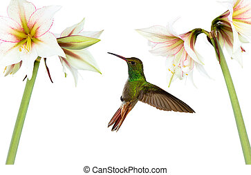 Hummingbird (archilochus colubris) in flight with tropical flowers on white background