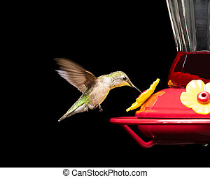 Female ruby-throated hummingbird drinking from a red feeder while in flight. Vivid colors isolated on black. Close up image with significant detail.