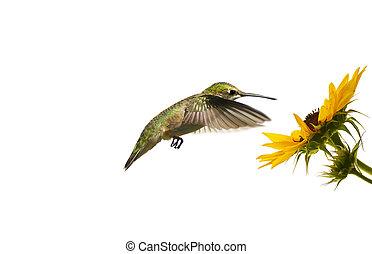 Hummingbird at flower, isolated.