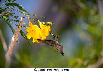 Hummingbird at Yellow Trumpet Flower