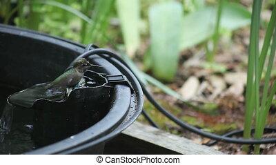 hummingbird bathing - a hummingbird takes a bath in a...
