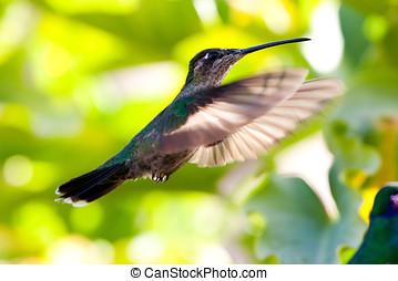 Hummingbird - Beautiful hummingbird in flight