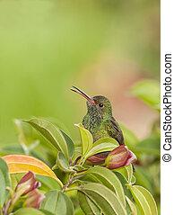Hummingbird Calling - Rufous tailed hummingbird perching in ...