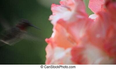 hummingbird close-up with gladiolas - hummingbird feeds in...