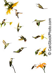 Hummingbird collection, isolated.