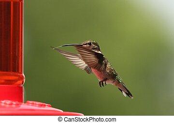 Hummingbird feeding 1