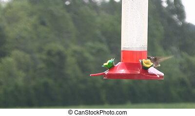 Hummingbird Feeding from Feeder