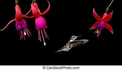 Hummingbird feeding on Hardy Fuchsia Flowers