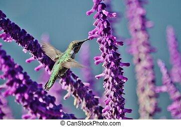 Hummingbird feeding on wisteria.