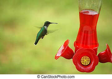 Photographed a Hummingbird feeding on nectar in our backyard in Georgia.
