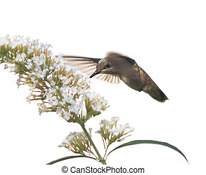 hummingbird feeds on a butterfly bush
