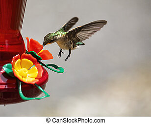 Hummingbird Feeds While Hovering