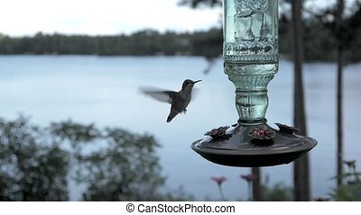 Hummingbird female lands to drink from a lakeside nectar feeder.