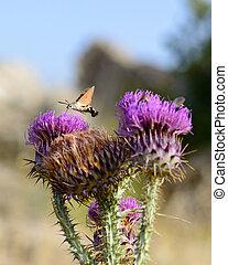 Hummingbird hawk moth feeding on flower, Macroglossum...
