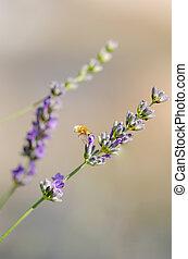 Hummingbird hawk-moth hovering over a lavender flower, (Macroglossum stellatarum)
