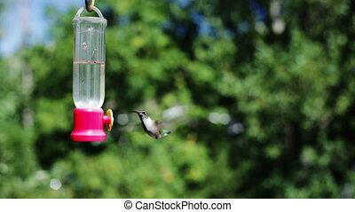 (hummingbird), het zoemen, vogel