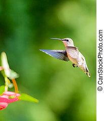 Hummingbird Hovering at Red Feeder
