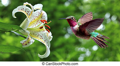 Hummingbird (archilochus colubris) hovering next to lily flowers panoramic view
