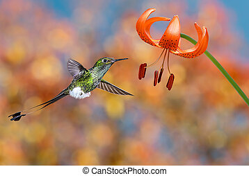 Hummingbird hovering next to tiger lily - Hummingbird booted...