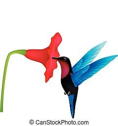 Hummingbird - Humingbird vector