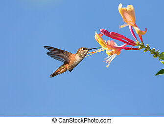 Hummingbird - Humming bird in fly