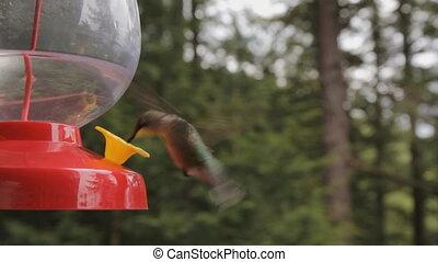 Hummingbird. - Hummingbird at a feeder. Turns and looks at...