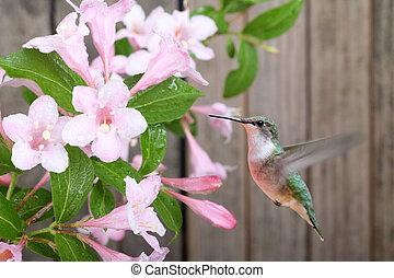 hummingbird, i, kapryfolium