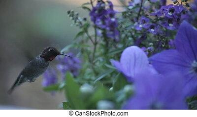 hummingbird in blue flowers