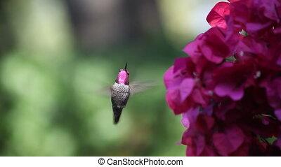 hummingbird in bougainvillea