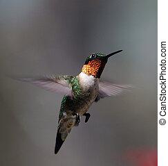Hummingbird in flight, April 2005.