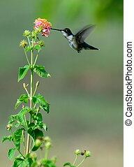 hummingbird in flight feeding on lantana flower
