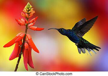 Hummingbird in flight - Hummingbird (archilochus colubris)...