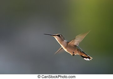 Hummingbird in flight - These birds just returned to...