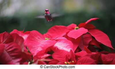 hummingbird in red poinsettias - a hummingbird feeds among...