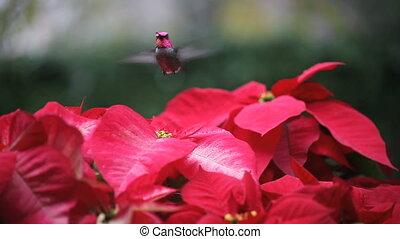 hummingbird in red poinsettias - a hummingbird feeds among...