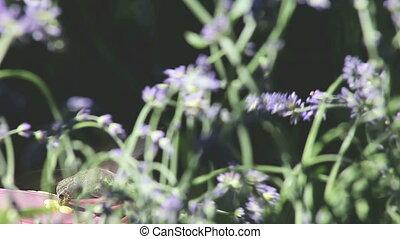 hummingbird in the lavender
