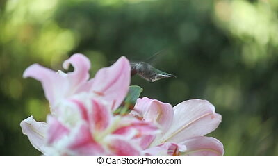hummingbird in the lilies