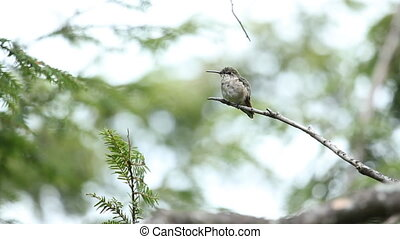 Hummingbird perched on a branch. The bird looks around and flies off. Shallow depth of field. Muskoka, Ontario, Canada.