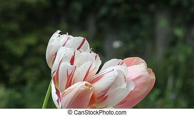hummingbird in tulips