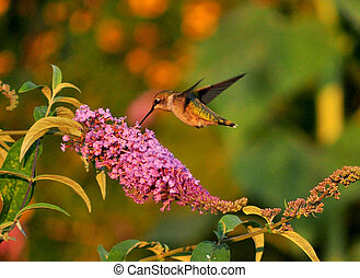 Hummingbird joy