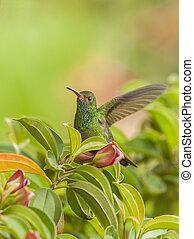Hummingbird Liftoff - Rufous tailed hummingbird takes-off...