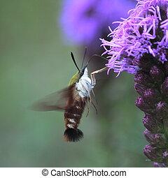 Hummingbird Moth on Flower