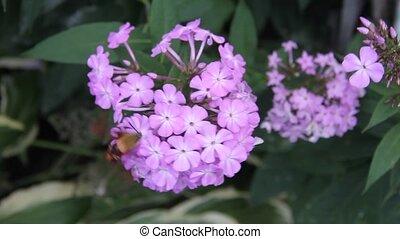hummingbird moth gathering nectar from flocks flowers
