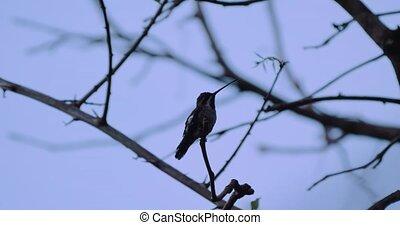 Hummingbird On A Tree, Costa Rica