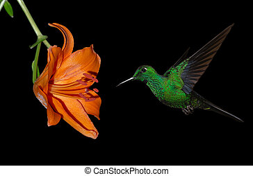 Green-crowned Brilliant Hummingbird (Heliodoxa jacula) known as Blue-throated Flying Dolphin or Green-fronted Brilliant
