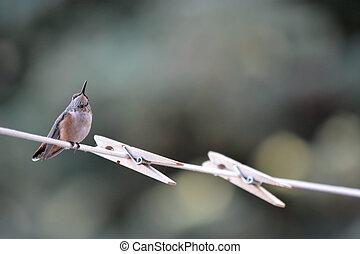 Hummingbird on Clothesline
